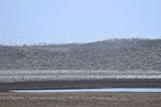 Free Snow Geese Landing Stock Images - 4775324