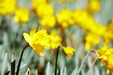 Free Yellow Daffodils Stock Images - 4775354