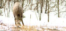 Free Bighorn Sheep Stock Photos - 4775423