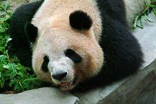 Free Panda Royalty Free Stock Photography - 4776297