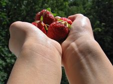 Free Strawberries Are In Child S Hands Stock Photo - 4776470