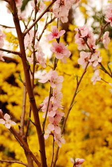 Free Cherry Flower Stock Image - 4777111