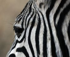 Free Zebra Royalty Free Stock Images - 4777229