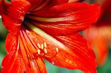Free Flower And Stamens Royalty Free Stock Photo - 4778835