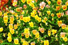 Free Yellow Pansy Royalty Free Stock Images - 4778999