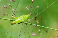 Free Grasshopper Nymphae Royalty Free Stock Images - 4779199