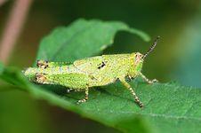Free Grasshopper Nymphae Royalty Free Stock Photos - 4779218