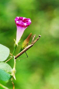 Free Mantis And Morning Glory Royalty Free Stock Photos - 4779278