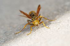 Free Angry Wasp Royalty Free Stock Photos - 4779308