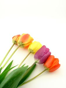 Free Tulips Isolated Royalty Free Stock Photography - 4779337