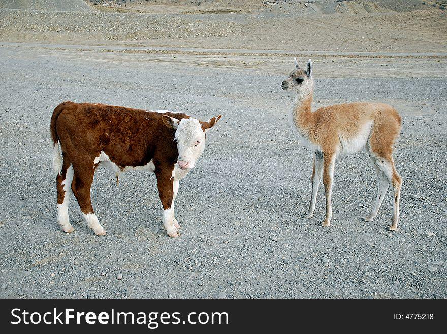 Baby s guanaco and calf bull
