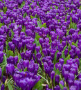 Free Early Spring Crocuses Royalty Free Stock Image - 4781216
