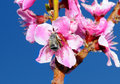 Free Bumblebee Stock Photography - 4781272