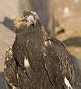 Free Predator Bird Royalty Free Stock Image - 4781656