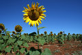 Free Sunflower Field In Alentejo Royalty Free Stock Images - 4782059