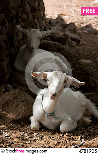 Free Resting Goats Royalty Free Stock Photo - 4781905