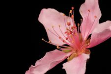 Free Peach Blossom Royalty Free Stock Images - 4780169