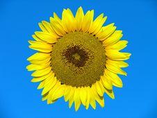 Free Yellow Sunflower Stock Photo - 4780540