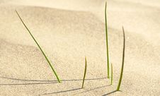 Newborn Green Grass In Desert Stock Photo