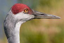 Free Crane Bird Royalty Free Stock Photo - 4781035