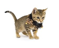 Free Kitten With Bells On Royalty Free Stock Image - 4781096