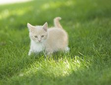 Free Yellow Kitten Playing In The Grass Royalty Free Stock Photo - 4781145