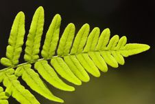 Free Isolated Fern Leaf Royalty Free Stock Images - 4781439