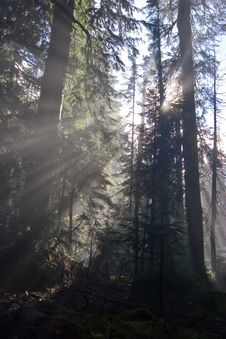 Free Sunrays In The Forest Stock Photos - 4781703
