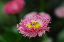 Free Daisy Stock Photo - 4781880