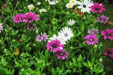 Free Daisy Flowers In Clusters Royalty Free Stock Photo - 4781885