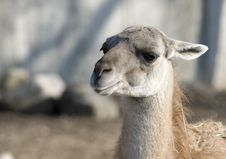Free Llama S Head Stock Photo - 4782110