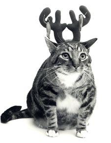 Free Cat Wearing Antlers Royalty Free Stock Photos - 4782138