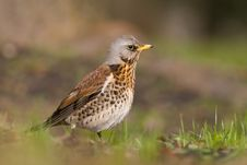 Fieldfare On Spring Day2 Stock Photo