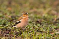 Free Bird - Chaffinch Royalty Free Stock Photos - 4782438