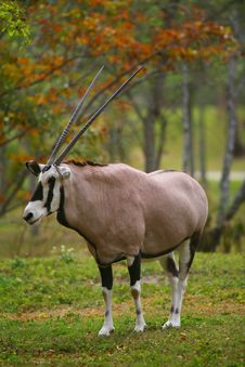 Free An African Gemsbok Gazelle - Oryx Gazelle Royalty Free Stock Photo - 4782815
