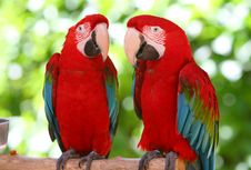 Free A Couple Of Beautiful Macaws Royalty Free Stock Images - 4782859