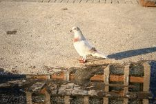 Free Curious Beautiful Pigeon Royalty Free Stock Photos - 4783018