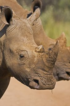 Free Head Shot Of Two White Rhinos Royalty Free Stock Image - 4783216