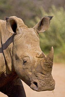 Free White Rhino Headshot Stock Photography - 4783222