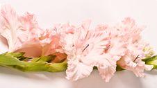 Free Gladiolus Royalty Free Stock Photos - 4783688