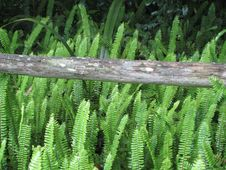 Free Ferns Along Rail Fence Stock Photo - 4784310