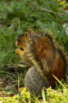 Free Gray Squirrel With Nut Stock Photo - 4784860