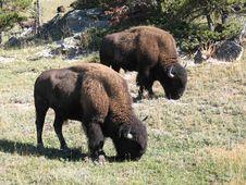 Free Big Buffalo Royalty Free Stock Photography - 4785007
