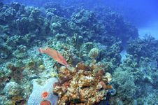 Free Hogfish And Coral Reef Stock Images - 4785024