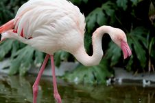 Free Flamingo Stock Photography - 4785222
