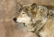 Free Wolf Blinking At Sun Royalty Free Stock Photos - 4785588