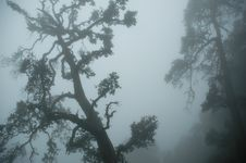 Free Gnarled Tree In Mist Royalty Free Stock Photos - 4786048