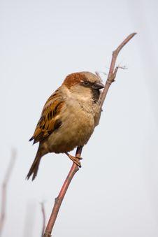 Free Sparrow Royalty Free Stock Photo - 4786455