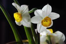 Free Narcisus Stock Image - 4786571