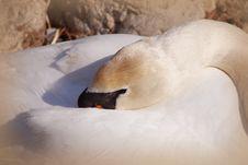 Free Swan Royalty Free Stock Image - 4786726